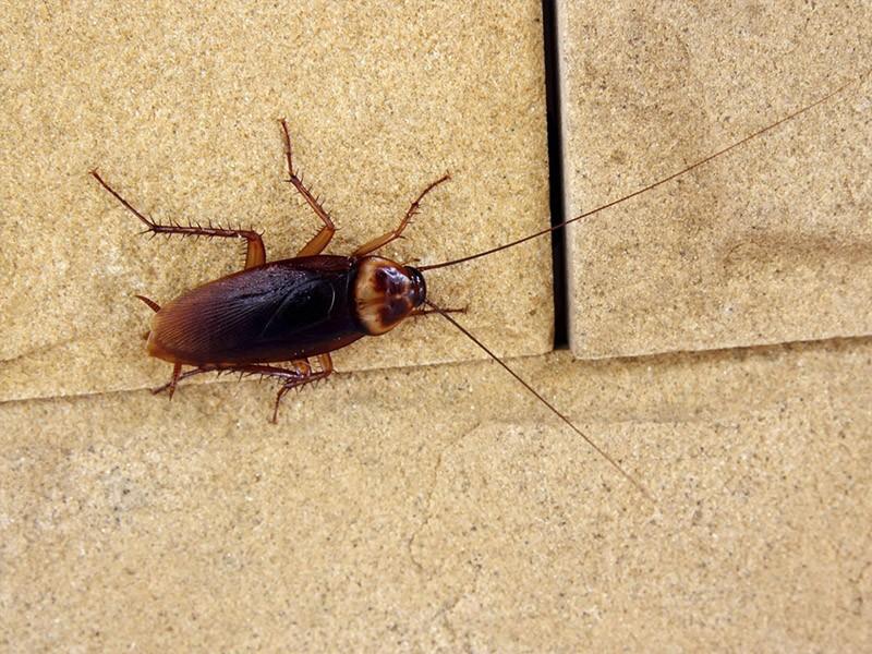 Уничтожение тараканов в Воронеже