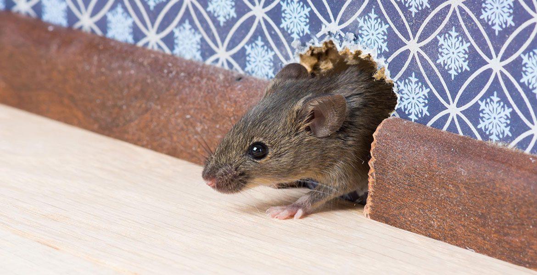Уничтожение мышей в Воронеже