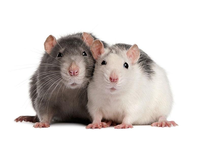 Уничтожение крыс в Воронеже