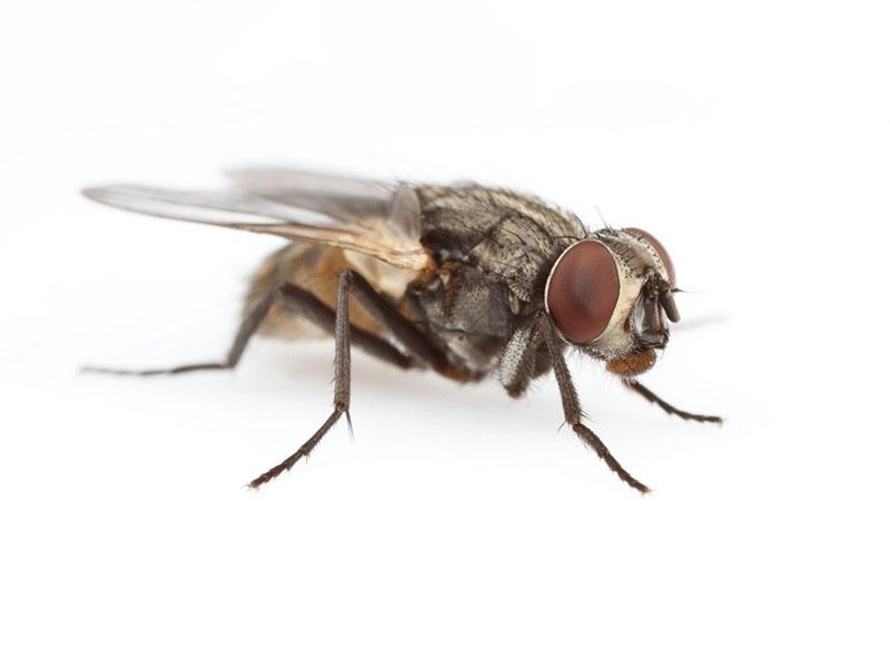 Уничтожение мух и мошек в Воронеже