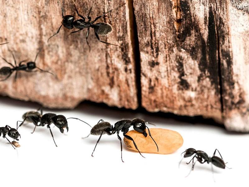 Уничтожение муравьев в Воронеже